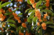 Osmanthus. Source: en.wikipedia.org
