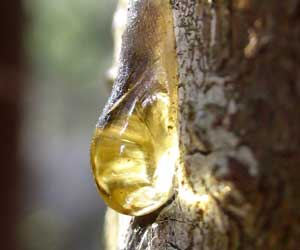 Pine tree sap. Source: howtocleanstuff.net