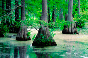Cypress swamp. Photo: Don Mace Agency. Source: conservationfund.org
