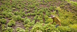 Indonesian patchlouli fields. Source: boccecreative.com