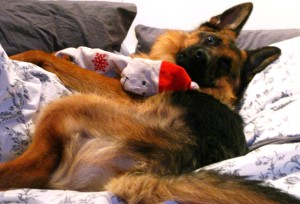 """The Hairy German on """"his"""" bed with his badly chewn Santa."""