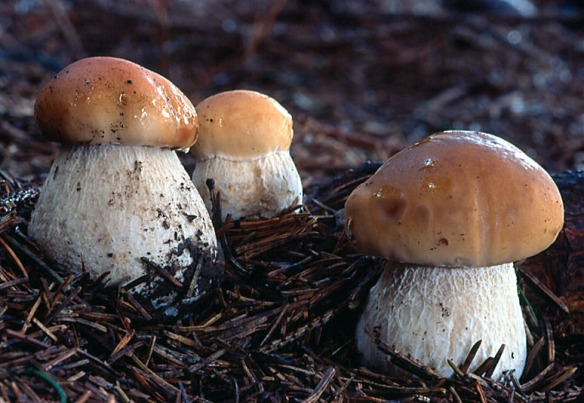 Cepes or Porcini. Source: morelmushroomhunting.com