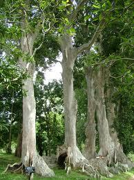 Canarium Commune tree. Source: gallery.trip.sk