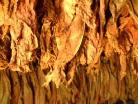 Dry tobacco leaves. Source: cigarettesplace.net