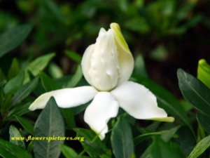 Gardenia jasminoide. Source: flowerpictures.org, photographer unknown.