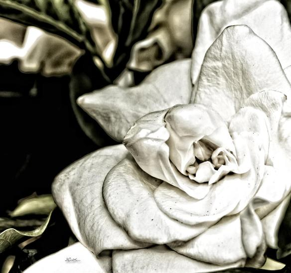 """Gardenia sketch"" by Angel H. Juarbe on Fine Art America. http://fineartamerica.com/featured/gardenia-sketch-angel-h-juarbe.html"