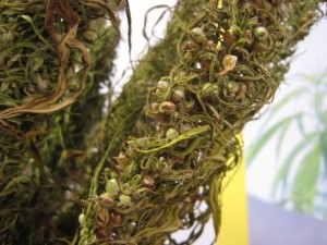 Hemp, dried out and with seeds, via Wikipedia.