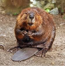 North American Beaver via Wikipedia.