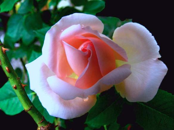 Photo: Helmut Rottler on Fine Art America. http://fineartamerica.com/featured/virgin-pink-rose-with-thorns-helmut-rottler.html