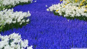 Hyacinths and daffodils. Photo: wallpoper.com