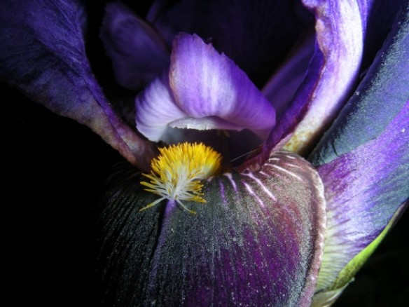 Photo: ticklemeimsexy.deviantart.com  http://ticklemeimsexy.deviantart.com/art/Purple-and-Yellow-Iris-195229153